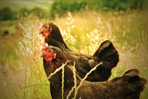 Helen Agarwal - chickens